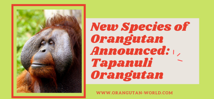 New Species of Orangutan Announced: Tapanuli Orangutan