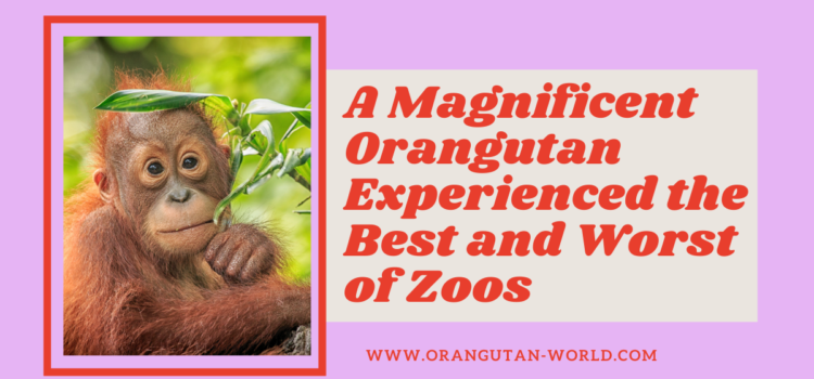 A Magnificent Orangutan Experienced the Best and Worst of Zoos