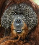 Bornean Orangutan Face Close-up