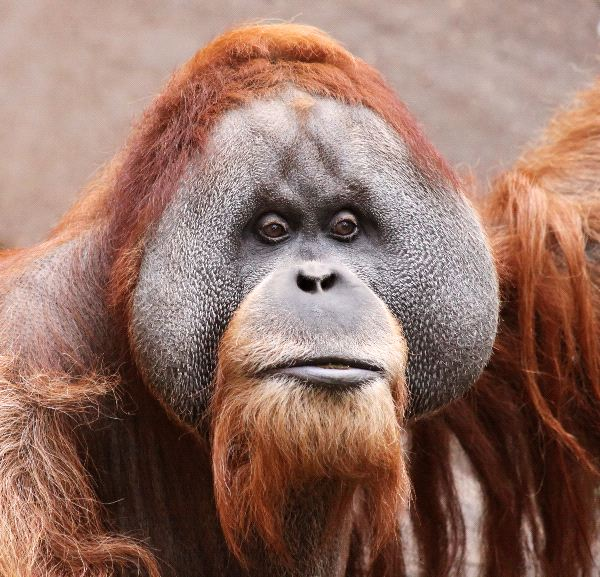 Male Borneo Orangutan Face