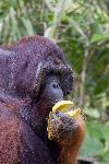 Orangutan Eating Fruit