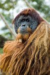 Orangutan Looking At The Camera
