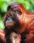 Orangutan With Reddish Brown Hair