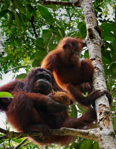 Two Orangutans Climbing a Tree