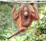 Young Orangutan Suspended From a Rope
