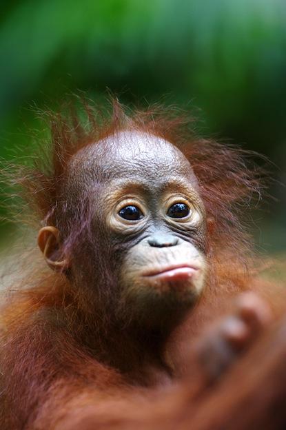 Orangutanes y cuidado de las crías.