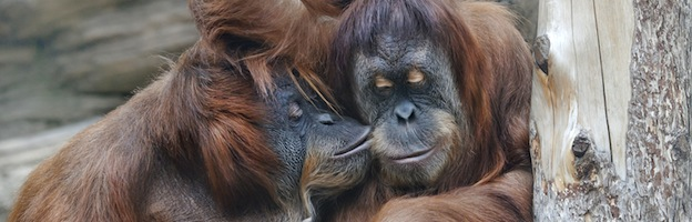 Orangutan Communication