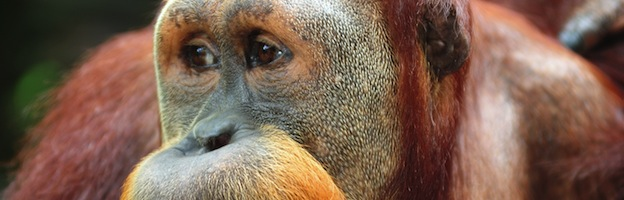 Orangutans in Culture