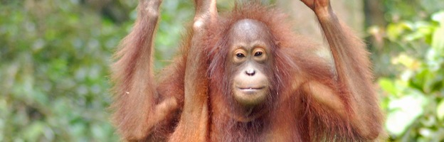 Orangutan facts orangutan-world.com