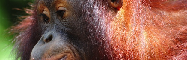 Orangutans and Global Warming