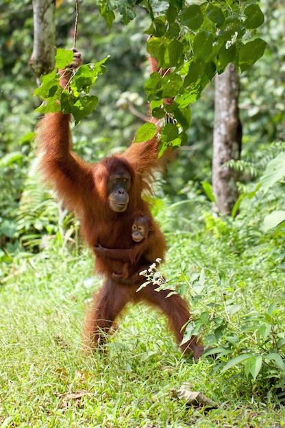 Information about Orangutan Reproduction