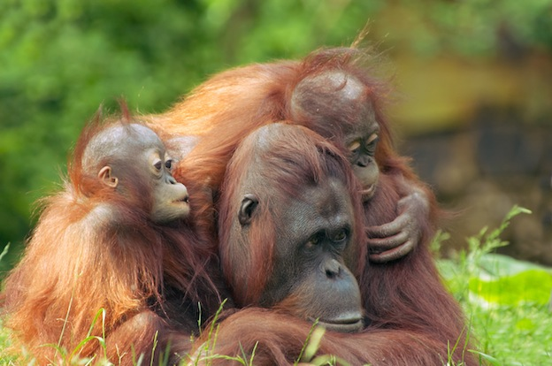 Orangutan social behavior